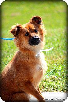Collie Mix Dog for adoption in Boynton Beach, Florida - Jax
