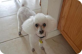 Poodle (Toy or Tea Cup) Dog for adoption in Brooksville, Florida - CHAD