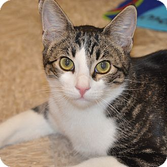 Domestic Shorthair Cat for adoption in Foothill Ranch, California - Pretty Boy