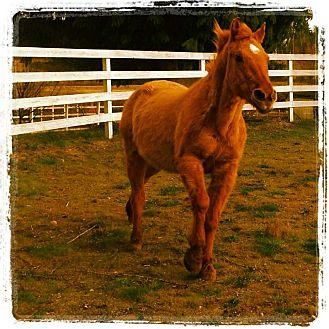 Quarterhorse Mix for adoption in Kingston, Washington - BENJAMIN (Gentle Ben)