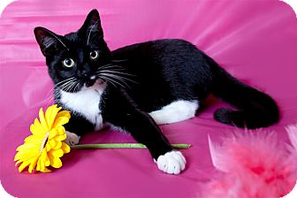 Domestic Shorthair Cat for adoption in Brooklyn, New York - Renee