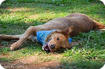 Golden Retriever/Shepherd (Unknown Type) Mix Dog for adoption in Homewood, Alabama - Tripp