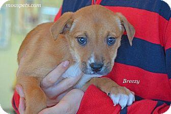 Boxer/Hound (Unknown Type) Mix Puppy for adoption in Danielsville, Georgia - Breezy