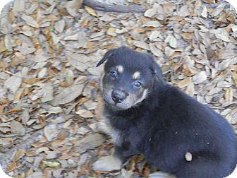 Labrador Retriever/Shepherd (Unknown Type) Mix Puppy for adoption in Largo, Florida - Sweetie Pie