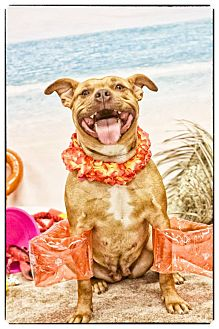 Pit Bull Terrier Mix Dog for adoption in West Allis, Wisconsin - Nika