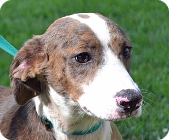 Basset Hound Mix Dog for adoption in Searcy, Arkansas - Phillip