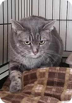 Domestic Shorthair Cat for adoption in Divide, Colorado - Keywa