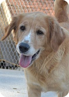 Golden Retriever Mix Dog for adoption in Knoxville, Tennessee - Sandy