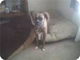 Boxer Dog for adoption in Las Cruces, New Mexico - Curie