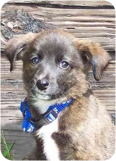 Sheltie, Shetland Sheepdog/Border Collie Mix Puppy for adoption in Ladysmith, Wisconsin - D9081
