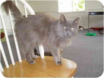 Domestic Longhair Cat for adoption in Hamburg, New York - Shilo