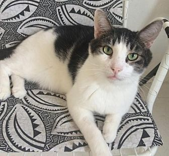 Domestic Shorthair Cat for adoption in Montreal, Quebec - Patches