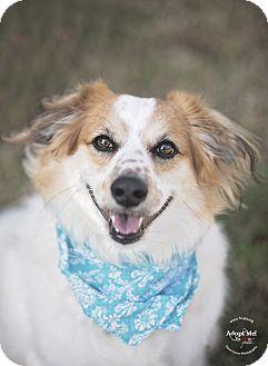 Australian Shepherd/Spaniel (Unknown Type) Mix Dog for adoption in Kingwood, Texas - Tyler