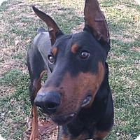 Adopt A Pet :: Deimos - Arlington, VA