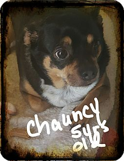 Pug/Chihuahua Mix Dog for adoption in Palm Bay, Florida - Chauncy