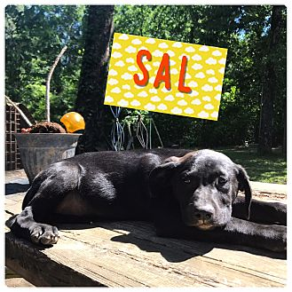 Labrador Retriever Mix Puppy for adoption in East Hartford, Connecticut - Sal in CT