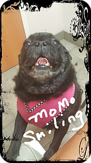 Pug Dog for adoption in Palm Bay, Florida - Momo