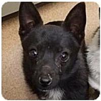 Schipperke Mix Dog for adoption in Beverly Hills, California - Comet