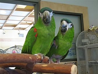 Macaw for adoption in Elizabeth, Colorado - Sprite