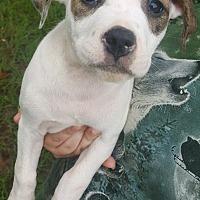 Adopt A Pet :: SHANIA - Cranston, RI