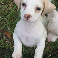 Adopt A Pet :: Philip - Pearland, TX