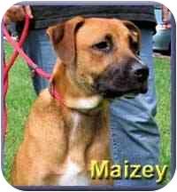Boxer Mix Dog for adoption in Aldie, Virginia - Maizey