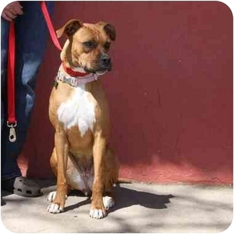 Boxer Mix Dog for adoption in Denver, Colorado - Olivia