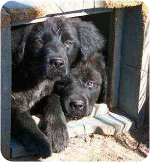 Brittany/Newfoundland Mix Puppy for adoption in Santa Fe, New Mexico - Puppy