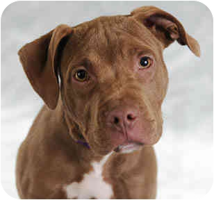 American Pit Bull Terrier Puppy for adoption in Chicago, Illinois - Tony