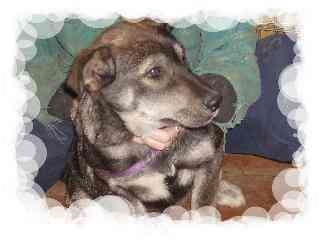 Husky/Rottweiler Mix Dog for adoption in Edon, Ohio - Nina..ADOPTED