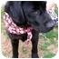 Photo 2 - Labrador Retriever Mix Dog for adoption in Dahlonega, Georgia - Web