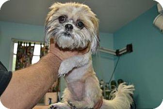 Shih Tzu Dog for adoption in Edwardsville, Illinois - Patches