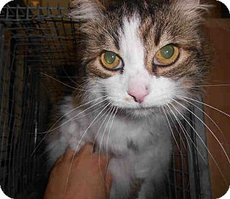 Domestic Longhair Cat for adoption in Yuba City, California - Shay - Unknown Sex/Age