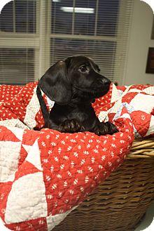 Dachshund Mix Puppy for adoption in Marietta, Georgia - Frank