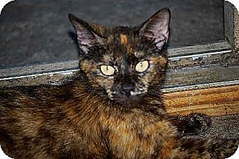Domestic Mediumhair Cat for adoption in Thibodaux, Louisiana - Zena FE2-8678