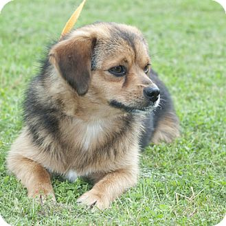 Pomeranian/Beagle Mix Dog for adoption in New Martinsville, West Virginia - Gizmo