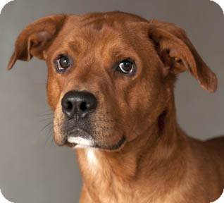 Hound (Unknown Type)/Boxer Mix Dog for adoption in Chicago, Illinois - Copper