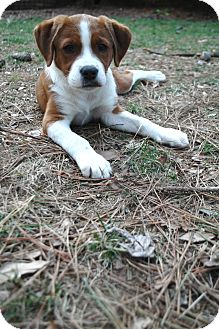 Springer Spaniel/Boxer Mix Puppy for adoption in CHICAGO, Illinois - Ruby