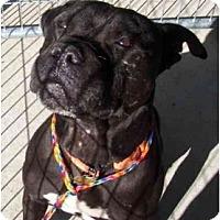 Adopt A Pet :: Sir Drake - Auburn, CA