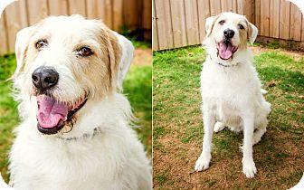 Irish Wolfhound Mix Dog for adoption in Gadsden, Alabama - Phinn