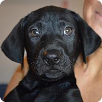 Adopt A Pet :: Angelo-adoption in progress - Marshfield, MA
