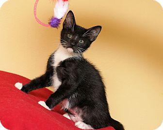 Domestic Shorthair Kitten for adoption in Putnam Hall, Florida - Sparkle