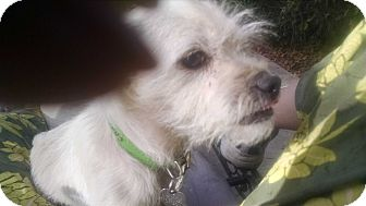 Terrier (Unknown Type, Small)/Brussels Griffon Mix Dog for adoption in Simi Valley, California - Whitney