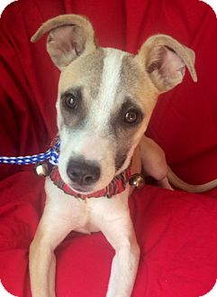 Whippet/Terrier (Unknown Type, Medium) Mix Puppy for adoption in Irvine, California - POLLY