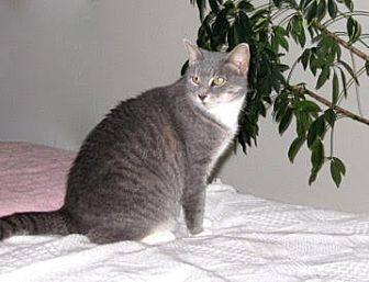 Domestic Shorthair Cat for adoption in Lambertville, New Jersey - Catie Gray