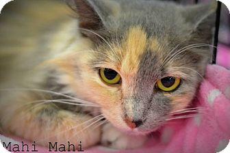 Calico Cat for adoption in Mansfield, Texas - Mahi Mahi