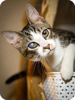 Domestic Shorthair Cat for adoption in Columbus, Ohio - Trillion