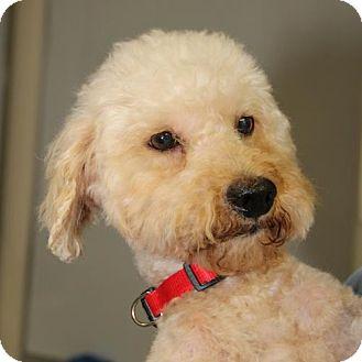 Poodle (Miniature)/Cockapoo Mix Dog for adoption in Olympia, Washington - Curly