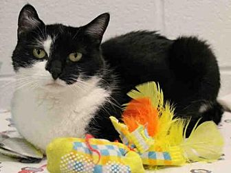 Domestic Mediumhair Cat for adoption in Hampton Bays, New York - SPOT
