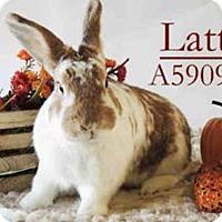 Adopt A Pet :: Latte - Paramount, CA
